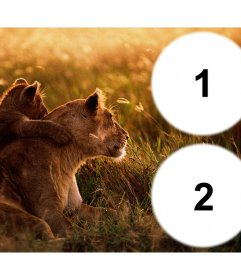 Collage von zwei Fotos mit einer Löwin und ihr Junges