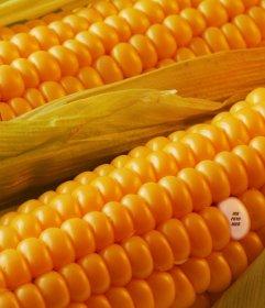 Fotomontage, um Ihre Bilder auf einem Getreidekorn zu verstecken und sagen, um Ihre Freunde zu Ihnen gefunden